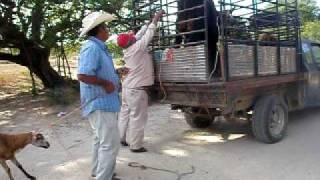Chargement de betail - Cargando ganado