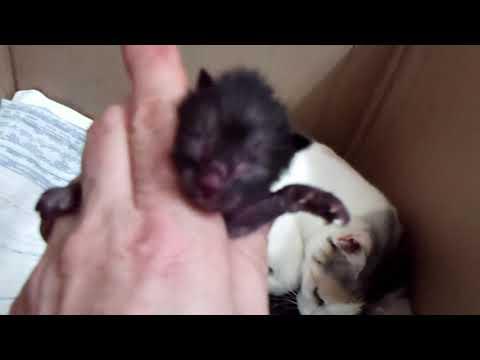 Akari Babies - Japanese Bobtail Kittens - Born 12/27/18