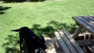 Rottweiler Vs Croiser Labrador