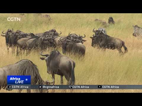 Amazing wildlife spectacle, the Great Migration, under way in East Africa