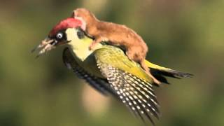 The man behind the astonishing photograph of a bird flying with a weasel on its back.