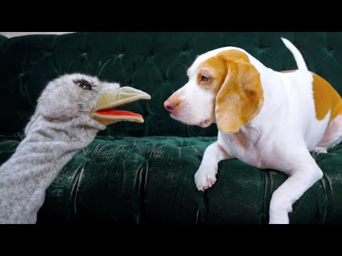 Dog vs. Ostrich Puppet: Cute Dog Maymo