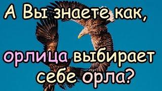 Как Орлица Выбирает Себе Орла для Своих Орлят [Орел и орлица - удивительная пара]