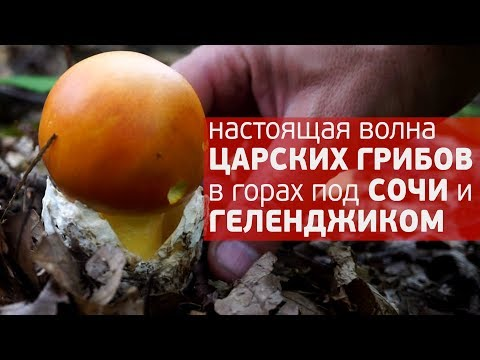 Волна царского ЦЕЗАРСКОГО гриба в горах под Сочи и Геленджиком 2018