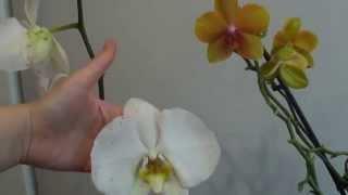 Королевский фаленопсис и стандартная орхидея. Сравнение.(Группа Вконтакте https://vk.com/club60028148 Фейсбук https://www.facebook.com/groups/1532133527045181/ партнёрка AIR http://join.air.io/irinaorxideja., 2015-05-04T07:25:20.000Z)