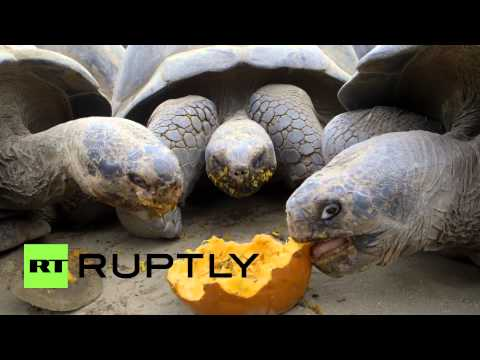 USA: You've got to see these giant tortoises gobbling down pumpkin