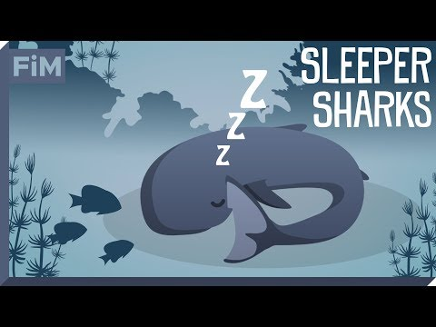 The Only Shark that hunts Giant Squid - Animated Shark Facts