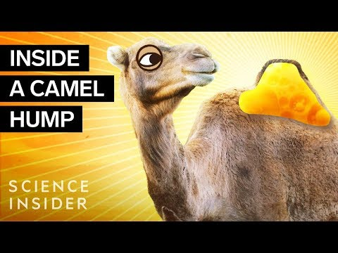 What's Inside A Camel Hump?