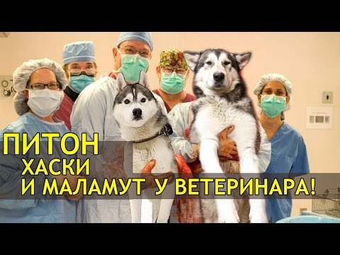 ВЛОГ: ПИТОН, ХАСКИ И МАЛАМУТ в гостях ветеринарной Клиники Дружочек