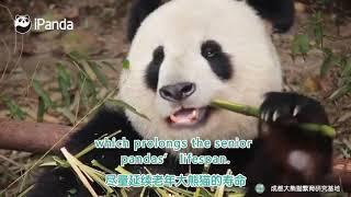 *How to Care for Senior Giant Pandas*   PandaVoices.org