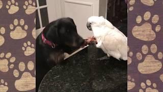 Попугай Валерка (ГОВОРЯЩИЙ ПОПУГАЙ) смешное видео как ПОПУГАЙ побил собаку