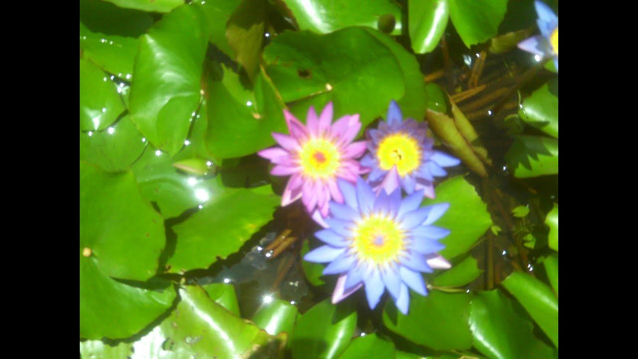 Ornamental aquatic plants farm part 2 sri lanka youtube for Ornamental pond plants