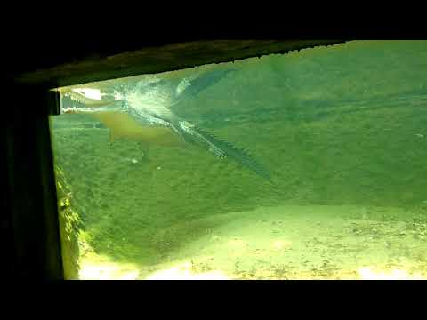 Underwater crocodile    Crocodile park    Chennai