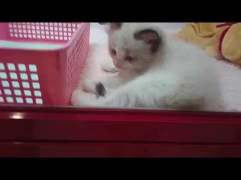 Tokyo's cutest kittens and puppies in a pet shop
