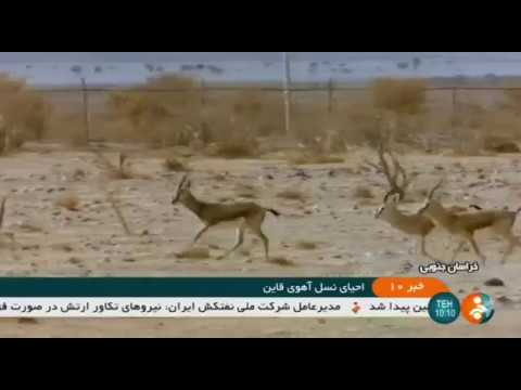 Iran Breeding Persian Gazelle, Espeden field, Qaen county پرورش آهو دشت اسپدن قاين ايران