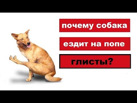 Почему собака ездит попой.  Глисты?