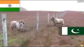 Download lagu Lihat yang Dilakukan Kambing Perbatasan Negara ini.!! Inilah Kelakuan² Hewan yang Bikin Harimu Indah