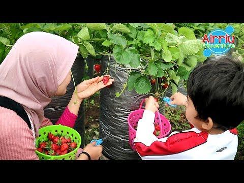 Belajar Petik Strawberry Sendiri Di Bambooberry