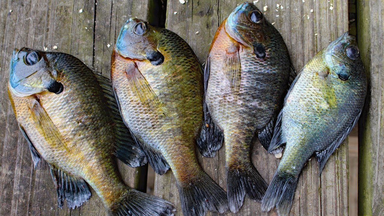 How to catch clean cook bluegill awesome bluegill bait for Bluegill fishing tackle