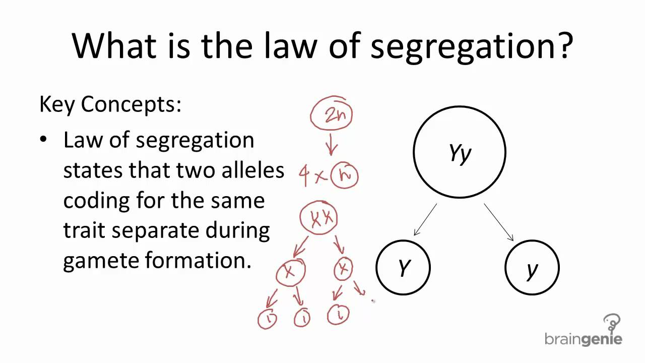 924 law of segregation youtube ccuart Image collections