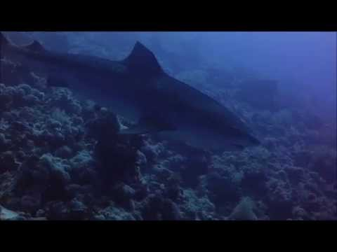 Tiger shark circling me and my divebuddy Rocky Island, Red Sea, Egypt 17/10-2015