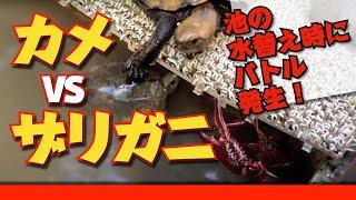 2014秋 池の水替え カメVSザリガニ thumbnail