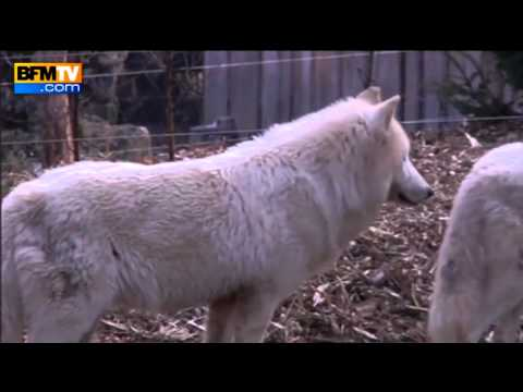 dormir avec les loups parc de sainte croix reportage par bfm tv avril 2013 youtube. Black Bedroom Furniture Sets. Home Design Ideas