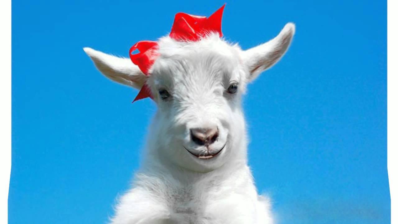 Шуточные поздравления про козу