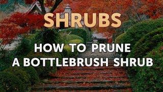 How to Prune a Bottlebrush Shrub