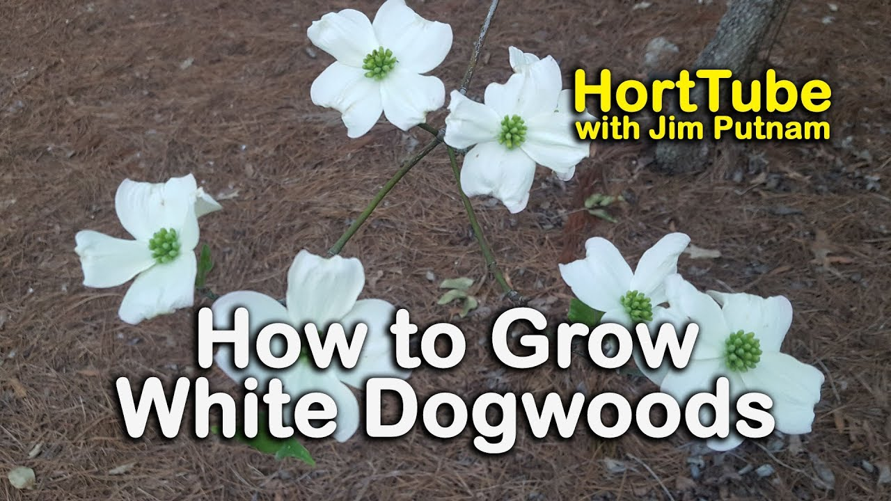 How to grow white dogwoods cornus florida white flowering native how to grow white dogwoods cornus florida white flowering native to the eastern us mightylinksfo