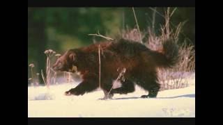 Wolf vs Wolverine / Росомаха дает пи..лей Волку:)