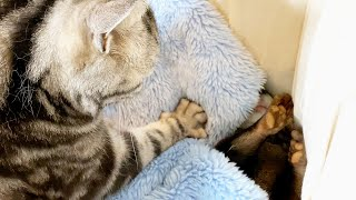 A cat that can't help kneading an otter [Otter life Day 468]
