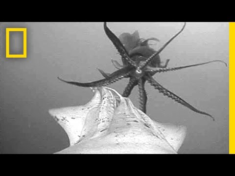 Remarkable POV: Jumbo Squid 'Flash' to Talk | National Geographic