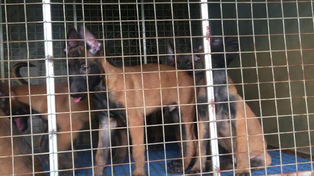 Tìm mua chó malinois thuần chủng