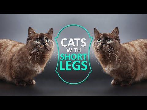 Cats With Short Legs - Must Know Facts