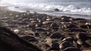 ELEPHANT SEALS AT SAN SIMEON CA - HEARST CASTLE