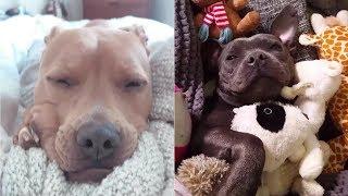 世界一凶暴な犬種ピットブルの見せるかわいらしい表情#2/staffy and pitbull sleeping face compilation