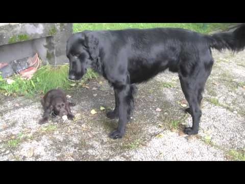 Flat-coated Retriever father and puppies
