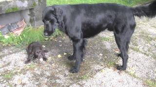 Flatcoated Retriever father and puppies