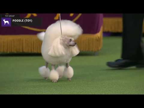 Poodles Toy   Breed Judging 2020