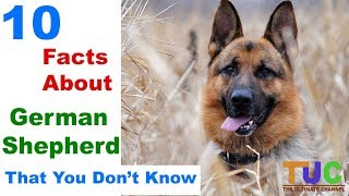 10 German Shepherd Facts That You Don't Know in HINDI  - DOGS IN HINDI - THE ULTIMATE CHANNEL