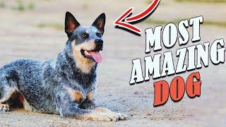 Blue Heeler  6 Traits that make the Australian Cattle Dog AMAZING