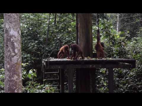 Sepilok Orang Utan Sanctuary - Borneo, Malaysia