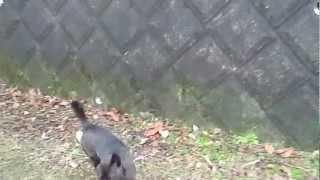 甲斐犬「さくら」の壁登り by 御殿犬舎.