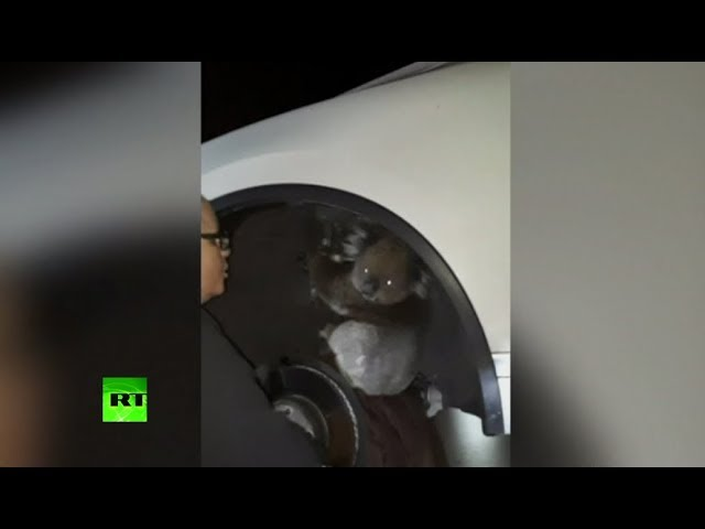 RAW: Koala released into wild after clinging to car axle for 16km