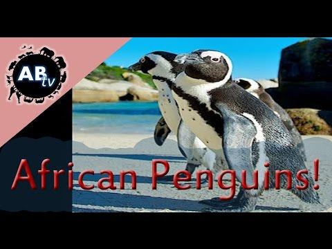 African Penguins! Shannon Wild : AnimalBytesTV