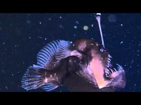 'Black Seadevil' anglerfish that has only been caught on ...