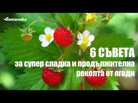 6 съвета за супер сладка и продължителна реколта от ягоди
