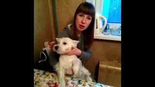 Работа мастера ZoO`key Юлии Рублевой.Тримминг вест хайленд вайт терьера на дому.