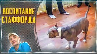 Шести месячный Стаффорд Тайсон(Воспитание-правила,границы,запреты)(, 2013-04-25T23:03:39.000Z)